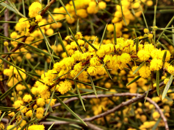Australian green & gold2: Australian national colours and floral emblem - yellow ball-shaped flowers from one of the many species of Australian acacia wattles