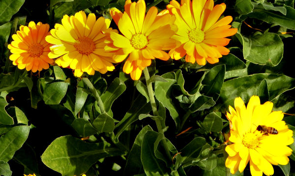 gold in the garden1: bright yellow daisy flowers