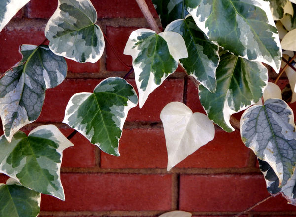 creeping up the wall5: plant creepers/vines adhering to brick or stone walls