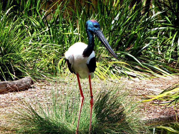black-necked stork5: distinctive Australian stork also known as a jabiru