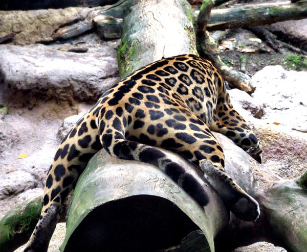 jaguar stretch1: relaxed sprawled out jaguar from the Americas