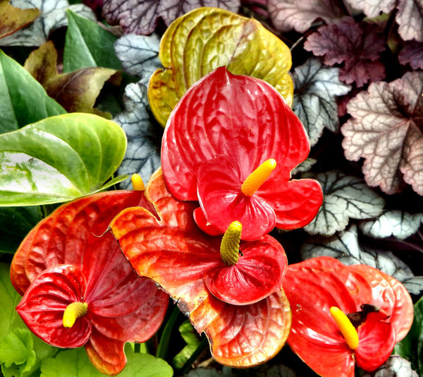 bright tail flowers3: glossy and distinctive tropical anthurium flowers companion flowers with other foliage & flowering plants