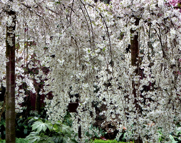 cherry blossom trees3: Japanese flowering cherry blossom trees