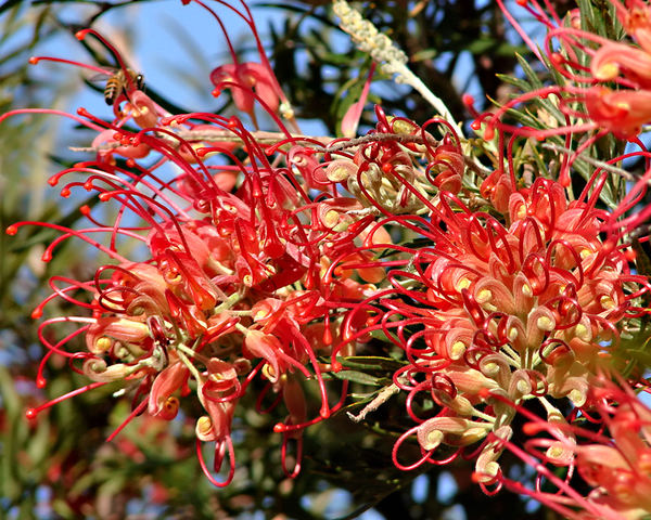 tendril tangles1 bl: unusual Australian grevillea shrub red wildflower with bee