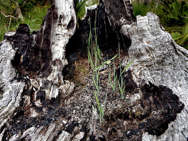 burnt-out tree stump2: burnt out dead wood giving new life to wildflower plants