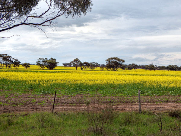 canola gold1: huge Australian farming paddocks/fields with bright yellow canola crop
