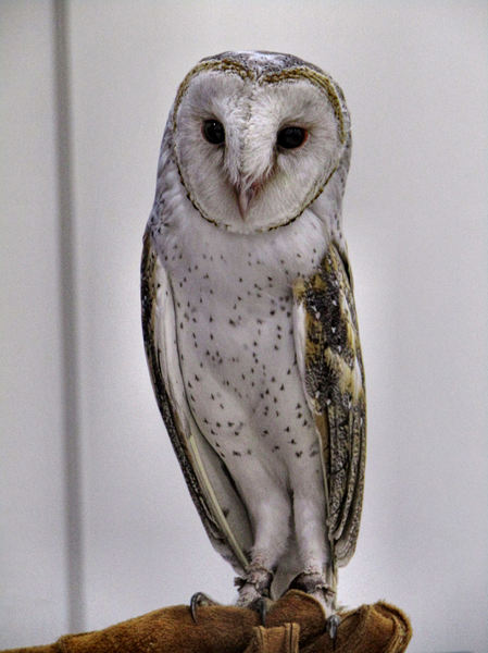 barn owl1: Australian barn owl species