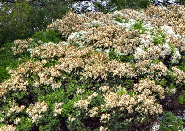 tree flower coverage1: flowering tree canopy