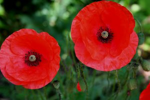 corn poppy: It's only a little flower but so wonderful