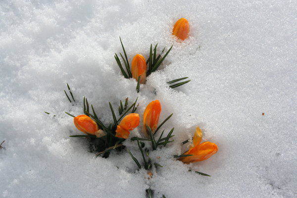 crocus: Spring is coming now. The first flowers in my garden after a hard and cold winter.