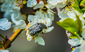 Chafer: Chafer on cherry blossom