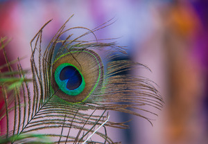 Peacock Feather Eye: Peacock Feather Eye