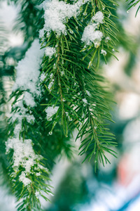 Christmas Tree: Christmas Tree in Snow