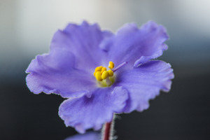 pansy: delicate pansy