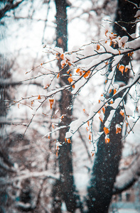 foliage: Snow covered leaves