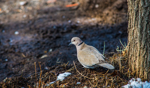Dove: Mourning Dove