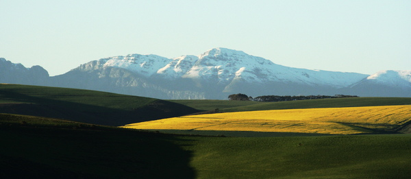 Snow-covered mountain: Snow covering the distant mountain range with bright canola field (rape seed) in the foreground
