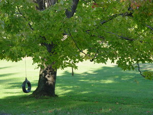 Tire Swing on Maple Tree: Summer fun, this tire swing hangs over a manicured lawn from a sprawling maple tree. Greens!