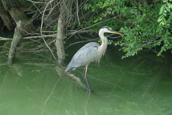 Heron on the lake: This blue heron poses looking for breakfast