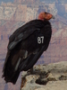 california condor 3: rare close up of a recently released california condor on a ledge in the grand canyon