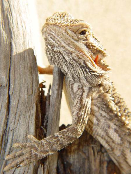 bearded dragon 2: bearded dragon