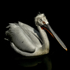 Pelican: no description