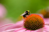 Bee: Closeup of bumble bee on echinacea blossom