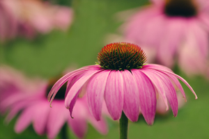 Echinacea: no description