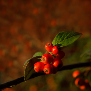 Christmas in red: Winter berries on a red background