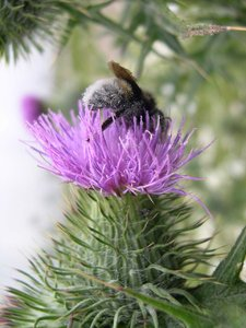 thistle bee: bee on a thistle