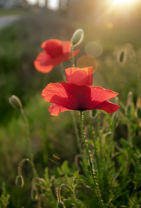 Red flower: Red poppy