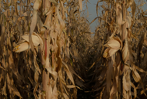 cornfield: It's time to harvest