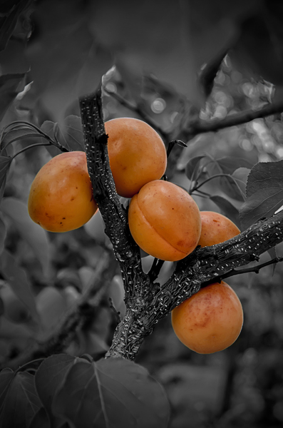 Ripe apricots: It's time to harvest