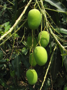 Mangoes: Unripe mangoes hanging from a tree at an orchard in Uttarakhand, India.