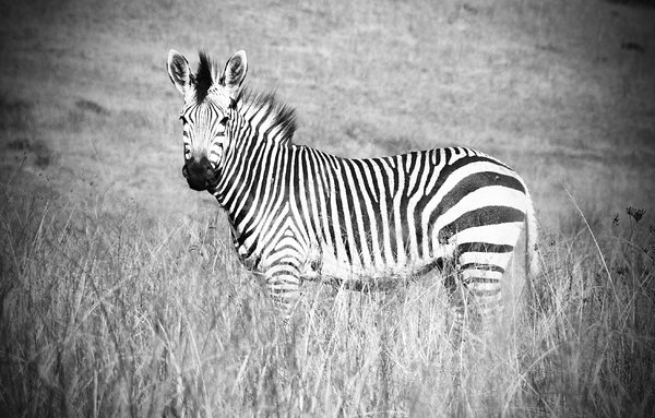 Zebra: No description