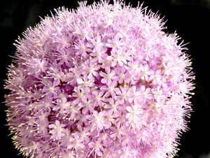 Allium 4: Allium from the sister's birthday party.