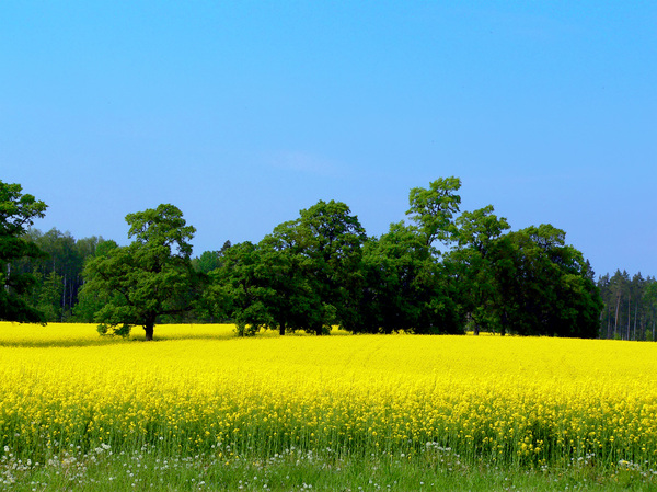 field of the canola: near the Jaunmokas castle (Latvia)