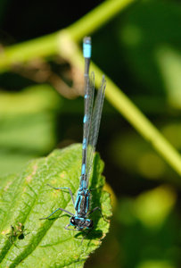 Small Dragon: Small black-and-blue dragonfly on a green leaf