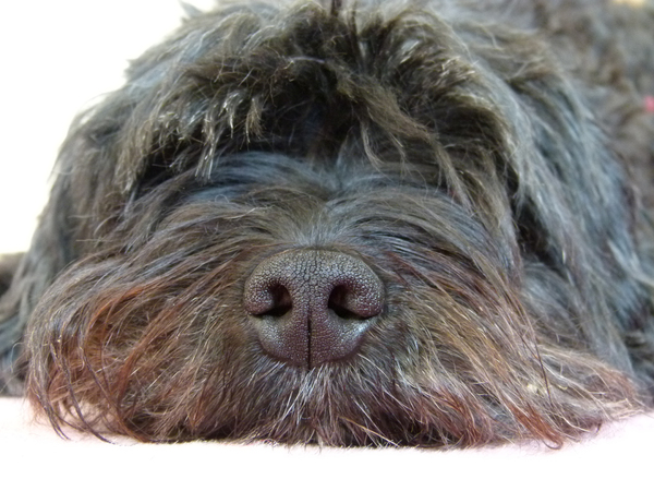 Tibetian Terrier: face of my tibetian terrier - relaxing