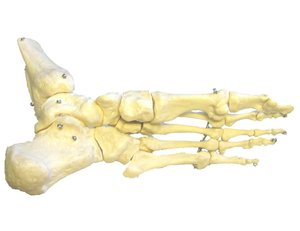Dem Bones!: model of human foot from the bottom