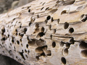 Wormwood: Worm-infested drift wood