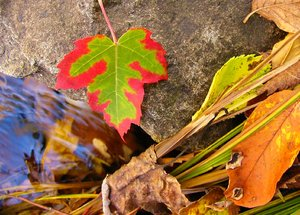 Fall Textures: Leaves land beside a brook on a crisp Nova Scotia fall morning.