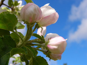 Pink bud on blue: Apple blossom kissing a cloud