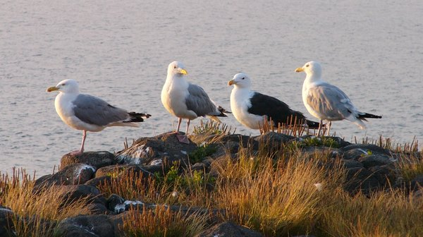 Centurions of the sea 1: Gulls watching the fishing boats at Halls Harbour, Nova Scotia, Canada
