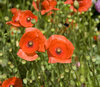 Poppies 2: Red poppies with bee.