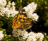 Painted Lady Butterfly.: Painted Lady butterfly on a white Hebe.  It's been a good year for these beautiful creatures.