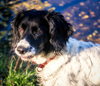 Springer Spaniel At Large: Ruby enjoying a walk in the local countryside and contemplating a swim in the pond.