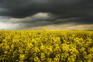 Rapeseed 2: A field of sunlit  rapeseed/canola beneath a stormy sky.