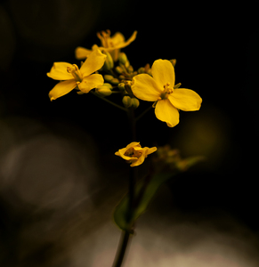 Rapeseed Flower: Rapeseed, aka canola, flowerhead isolated against a dark background.
