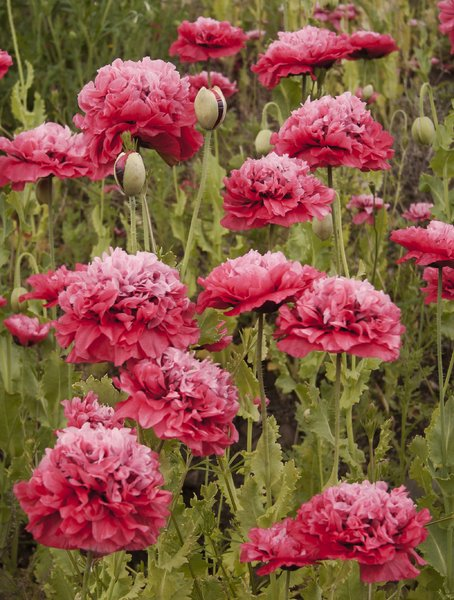 Pink Poppies: Pink poppies on an embankment.